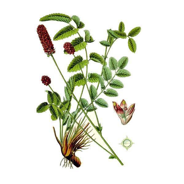 Трава кровохлебка лечебные свойства и противопоказания