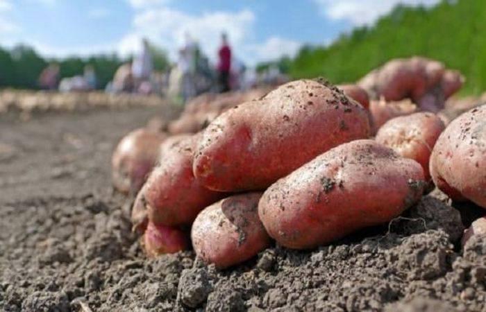 Сорт картофеля «любава» – описание и фото