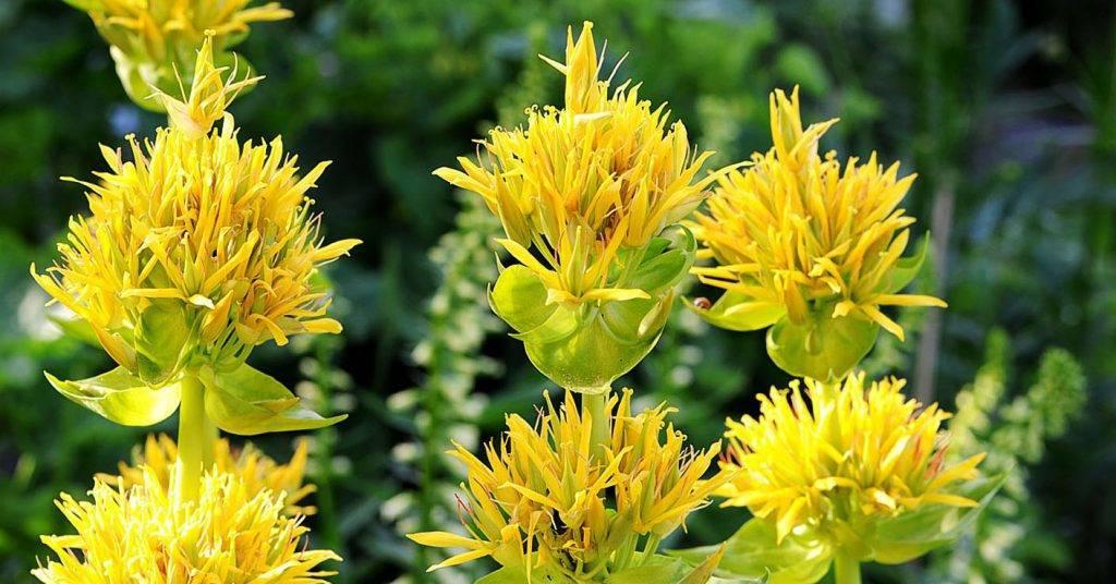 Горечавка желтая: фото и описание, применение