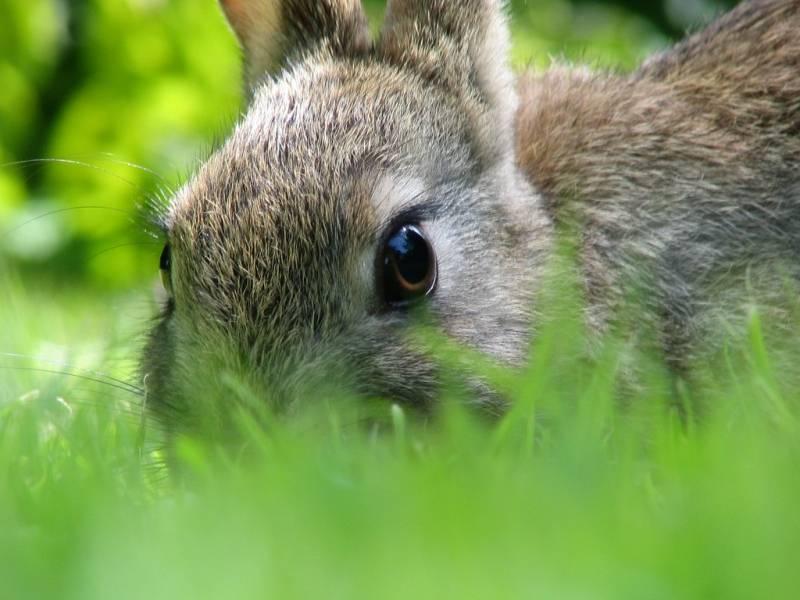 Диагностика и лечение геморрагической болезни кроликов