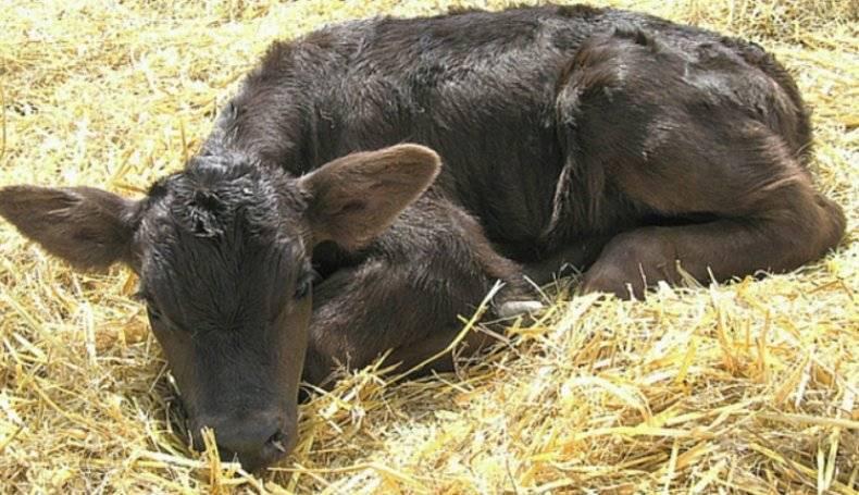 Признаки и симптомы глистов у коров и телят, лечение и профилактика