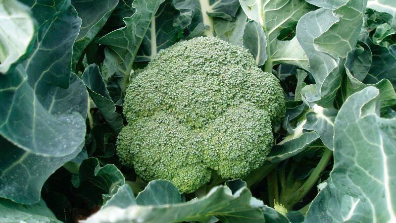 Брокколи фиеста f1: что нужно знать о выращивании гибрида