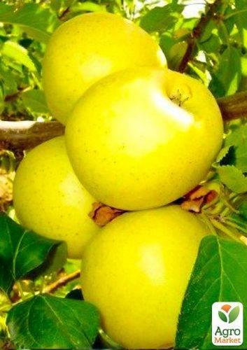 Описание сорта яблок голден делишес