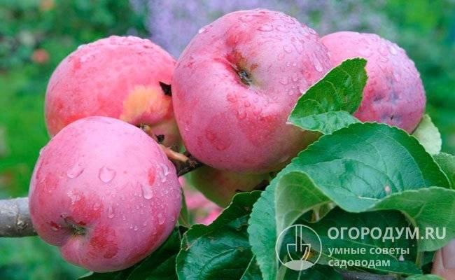 Яблоня «северный синап»: особенности сорта и правила культивирования
