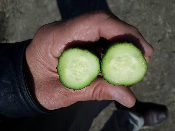 Голландский огурец «директор» с длительной лежкостью и стабильной урожайностью