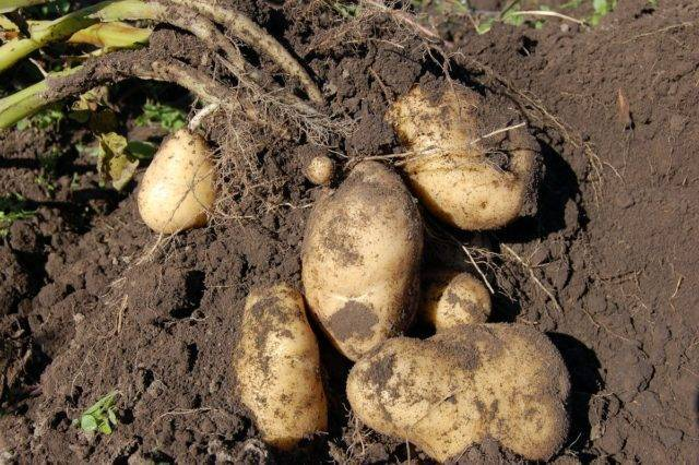 Когда можно копать картошку: сроки, как определить готовность