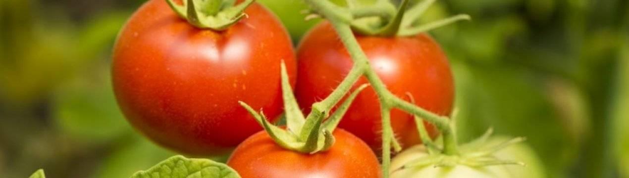 Описание томата джина и технология выращивания