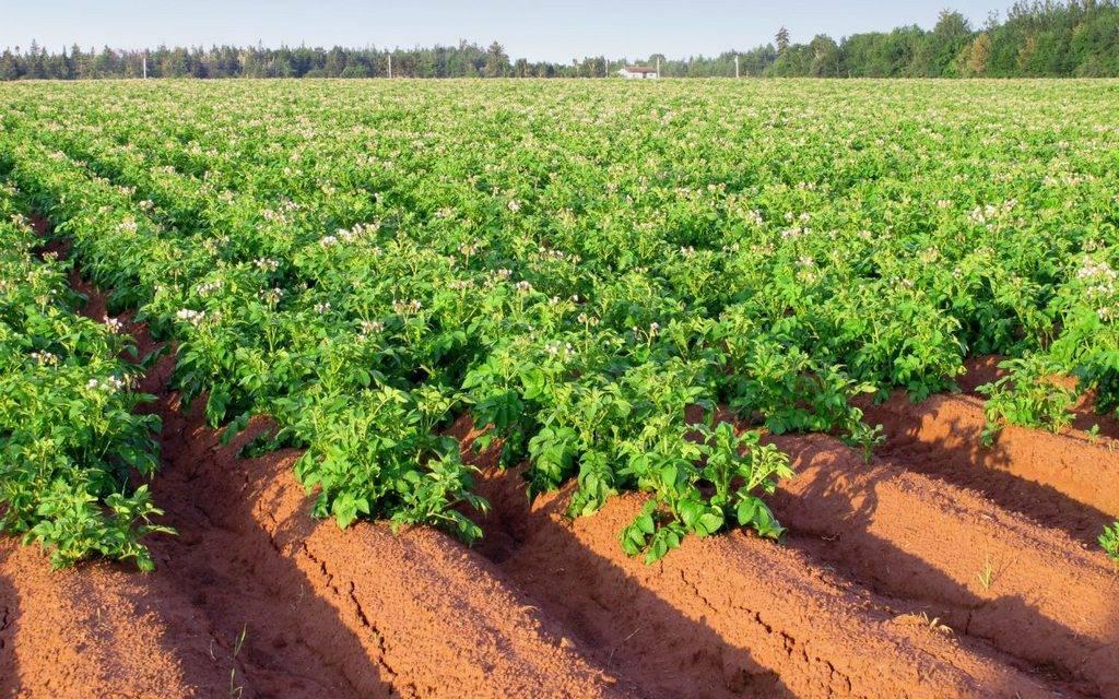 Великолепная голландская технология по выращиванию картофеля: описание метода и правила применения на улице и дома