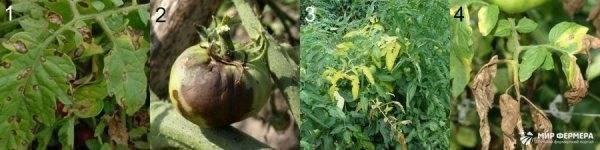 Вредители томатов: самые распространенные насекомые и борьба с ними (101 фото)
