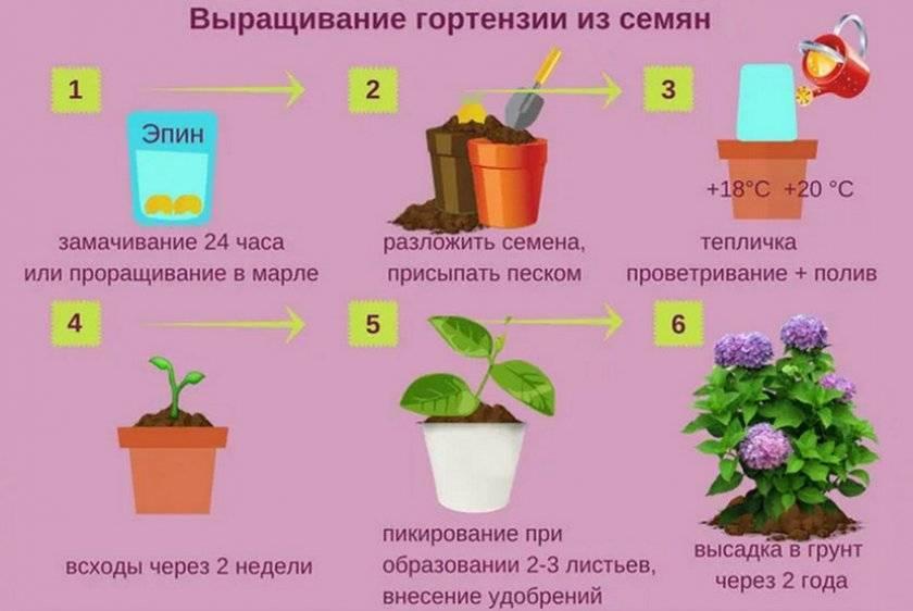Как вырастить гортензию в домашних условиях из семян?