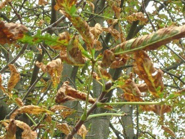 Как вылечить листья каштана