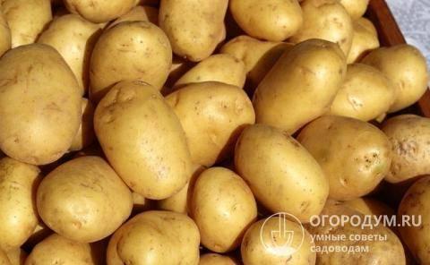 Картофель удача: выращиваем раннеспелый сорт