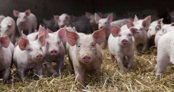 Ландрас — порода свиней: описание, особенности содержания и кормления