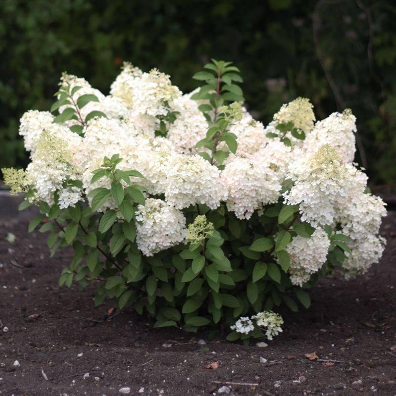 Гортензия метельчатая «мэджикал мунлайт»: описание и выращивание