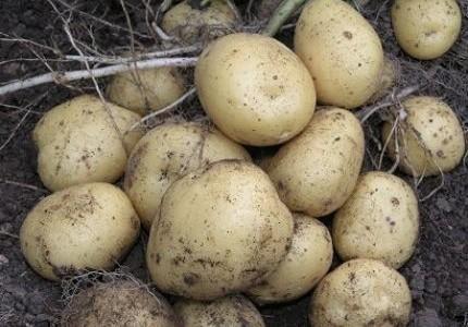 Сорт картофеля ривьера: характеристика, отзывы