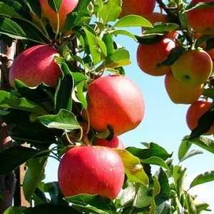 Особенности посадки яблони малиновка и ухода за ней