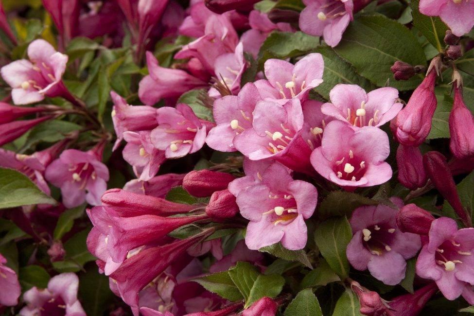 Вейгела: размножение черенками весной, летом, осенью