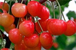 Черешня «любимица астахова» — опылители, описание сорта, фото