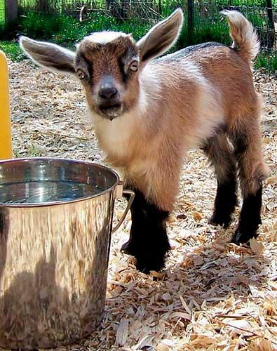 Камерунская коза: особенности породы, условия содержания, преимущества и недостатки