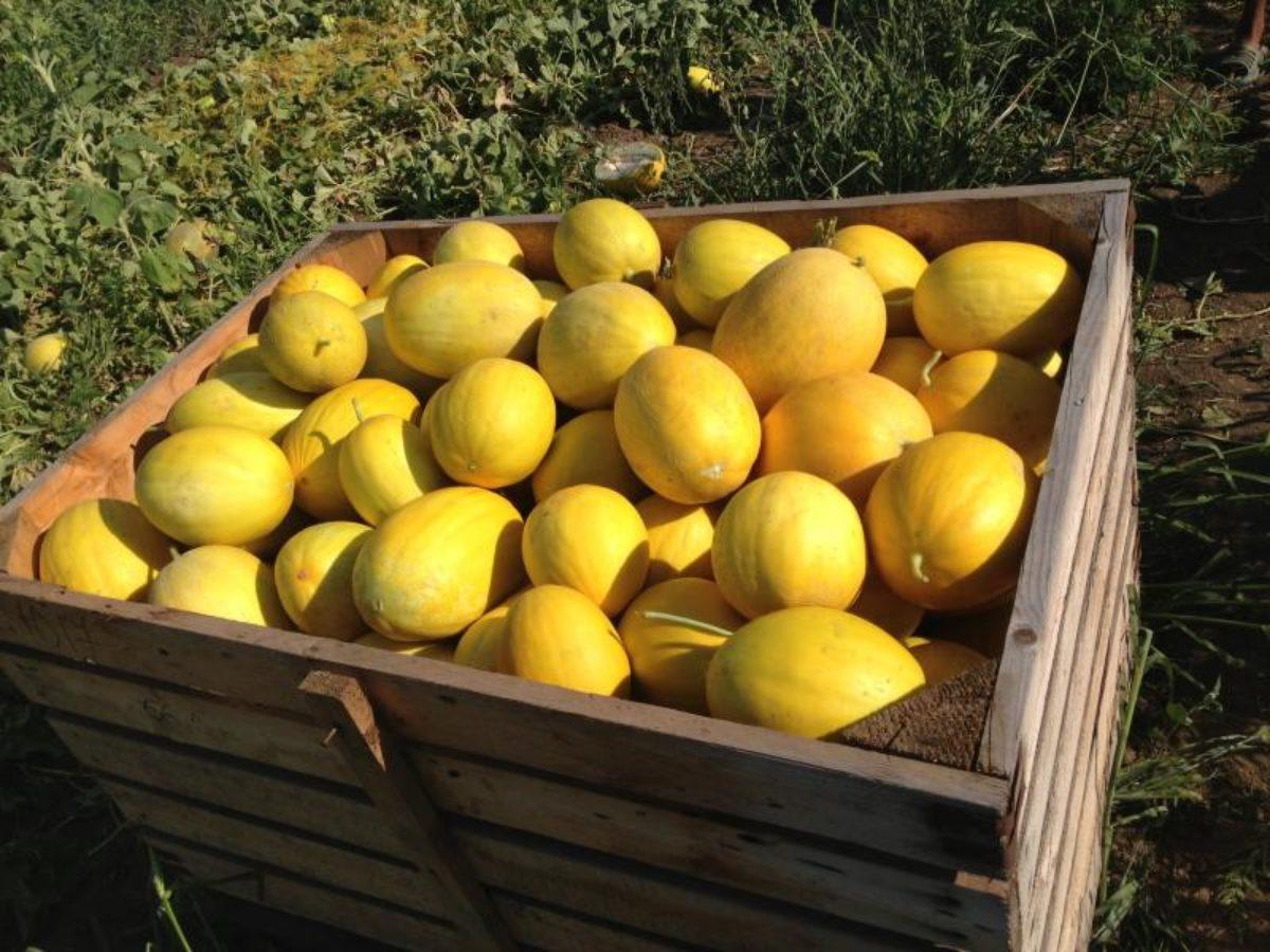 Сорт дыни «ананас f1»: описание и способы выращивания