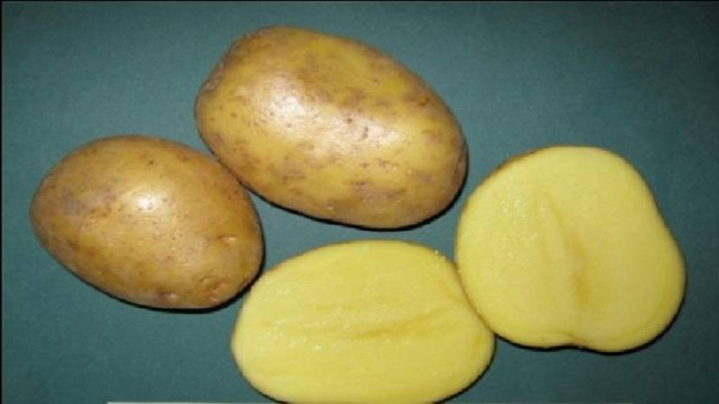 Заслуживший доверие сорт от немецких аграриев — картофель карлена: описание и отзывы