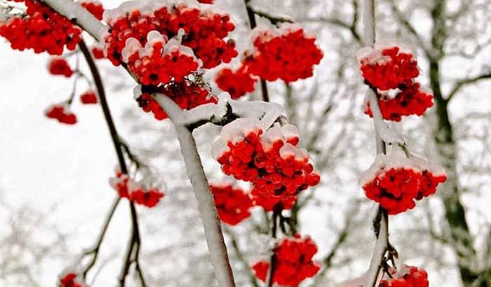 Рябина гранатная — описание сорта, фото, отзывы садоводов