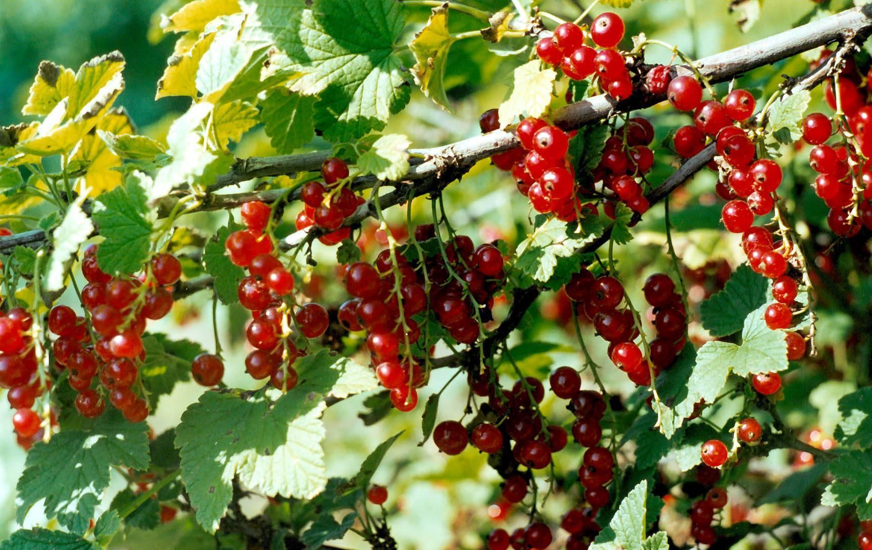 Смородина черная — сорта лучшей отечественной и иностранной селекции с подробными описаниями