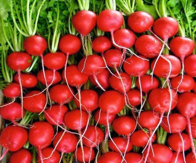 Сеем самый ранний овощ — редиску