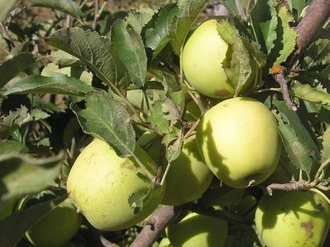 Яблоня «голден делишес»: описание сорта, опылители, посадка и уход, фото