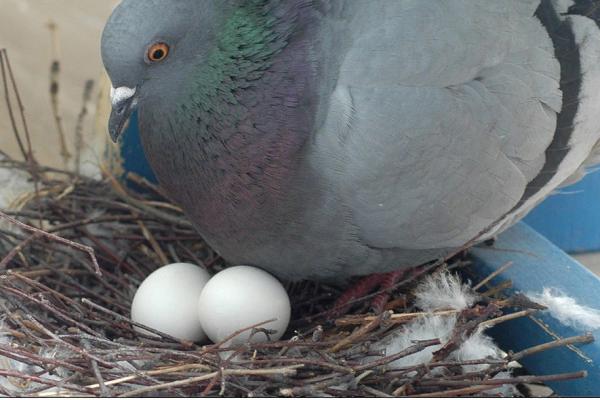 Голубь серпастый: как выглядит, где живёт, что ест