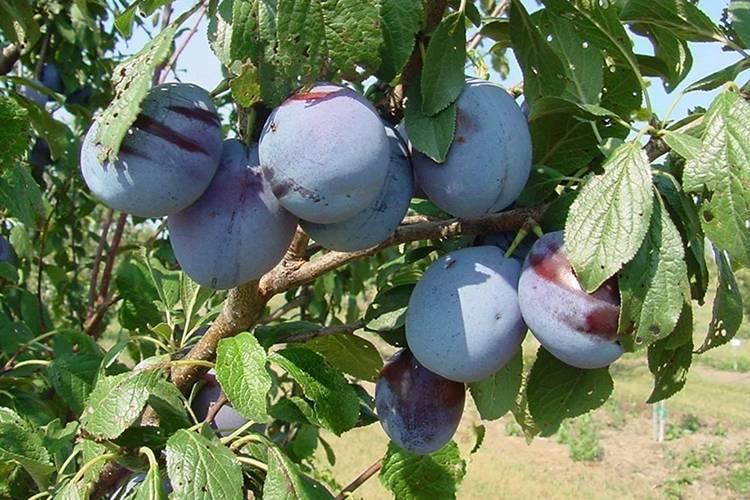 """Слива """"заречная ранняя"""": описание сорта, характеристики самоплодного дерева и опылители, посадка, уход и фото"""