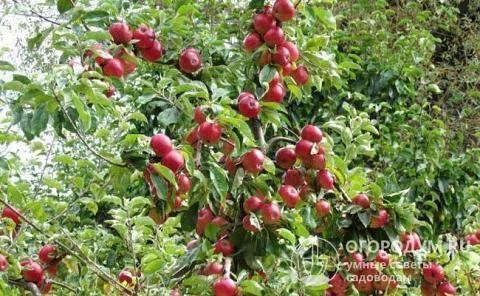 Медуница, медовая яблоня