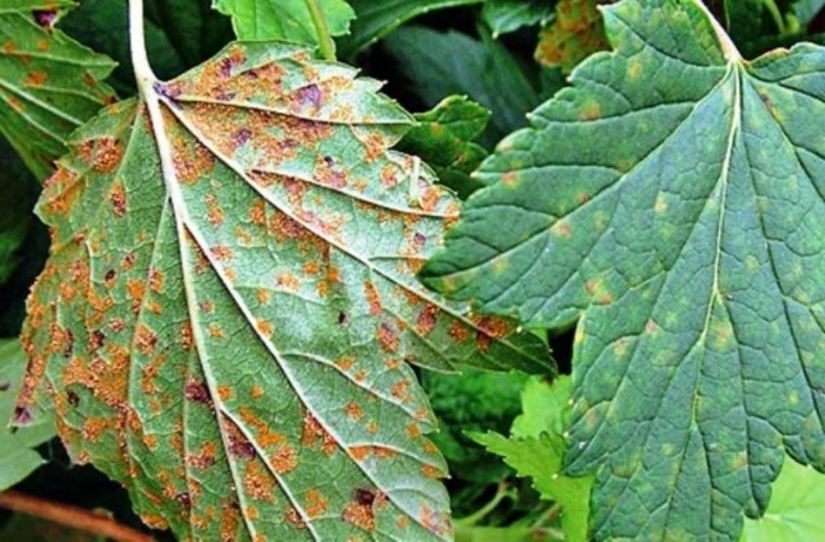 На смородине красные пятна на листьях – что делать, чем лечить