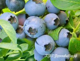 Голубика Норт Кантри (North Country): посадка и уход, выращивание