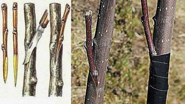 Как размножить боярышник черенками в домашних условиях. размножение боярышника семенами дома