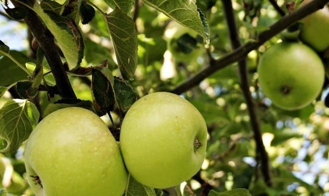 Внушительный размер плодов с пряным вкусом — яблони сорта бельфлёр-китайка