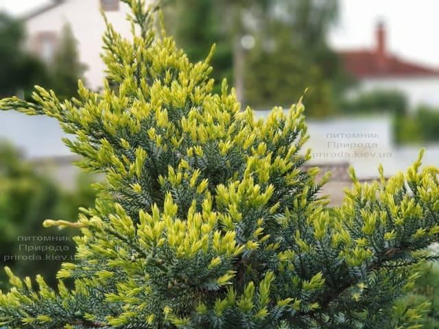 Можжевельник чешуйчатый: описание растения, посадка и уход в открытом грунте