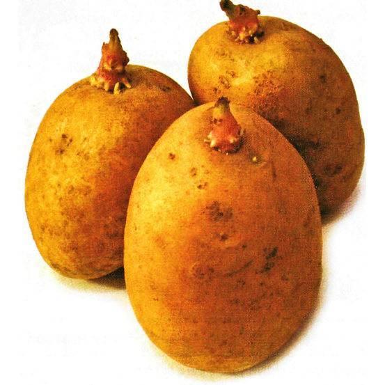Настоящее лакомство — картофель ласунок: описание сорта, характеристика, фото