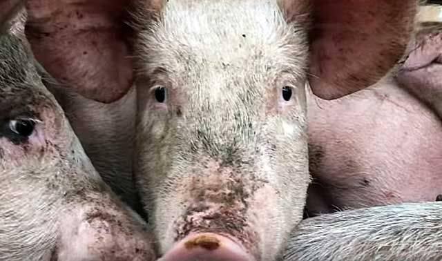 Технология опаливания свиньи соломой