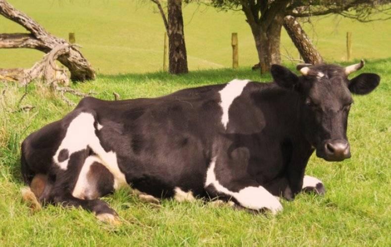 Тимпания рубца у крупнорогатого скота: причины появления, основные симптомы