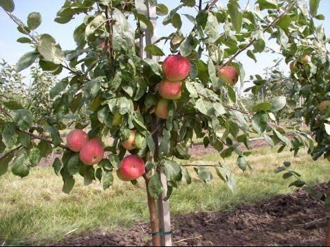 Описание старинного сорта яблони малиновка