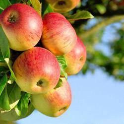 Башкирская красавица (яблоня): описание сорта и отзывы садоводов