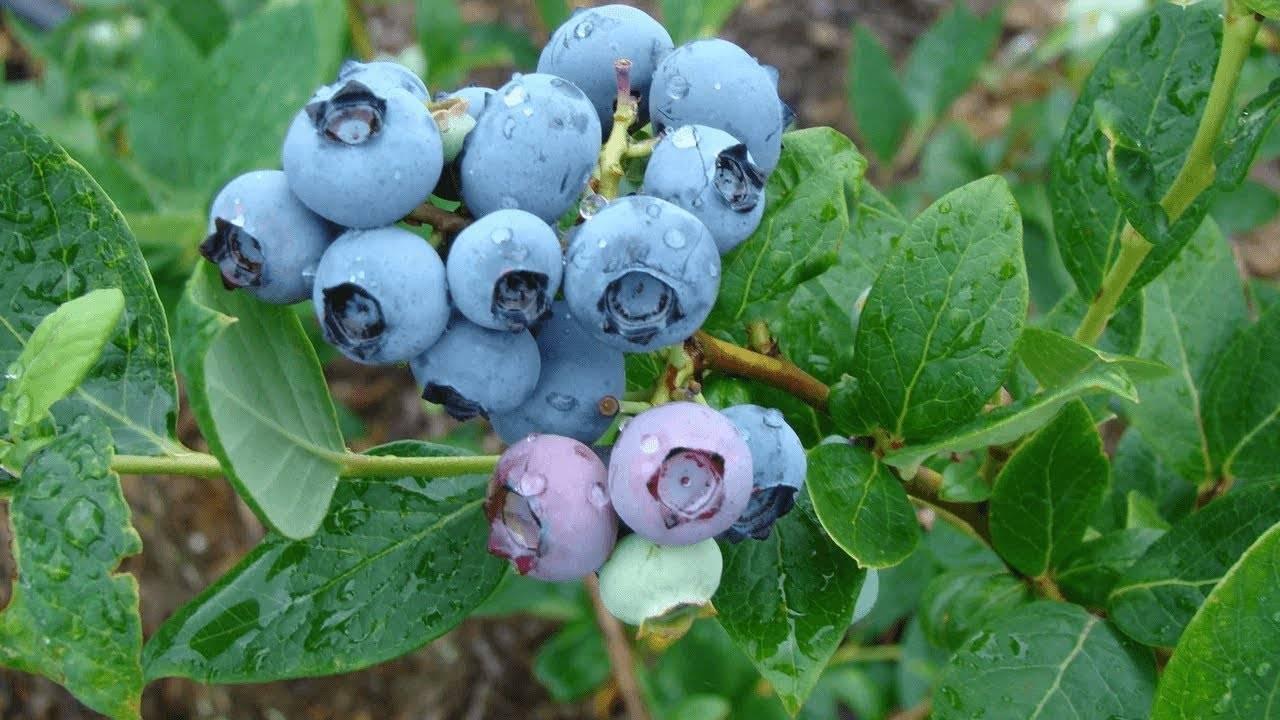 Размножение садовой голубики: способы и особенности процедуры