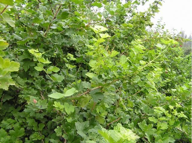 Сорт крыжовника чёрный негус: описание, посадка, выращивание и уход