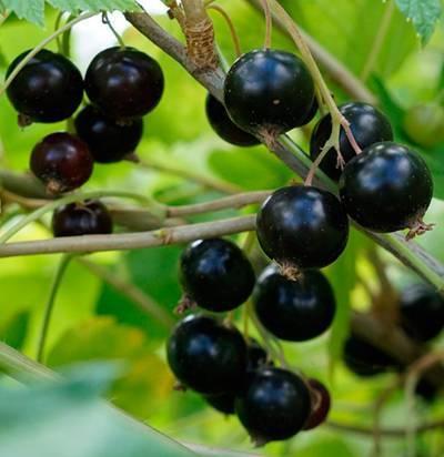 Сорт чёрной смородины селеченская, основные характеристики