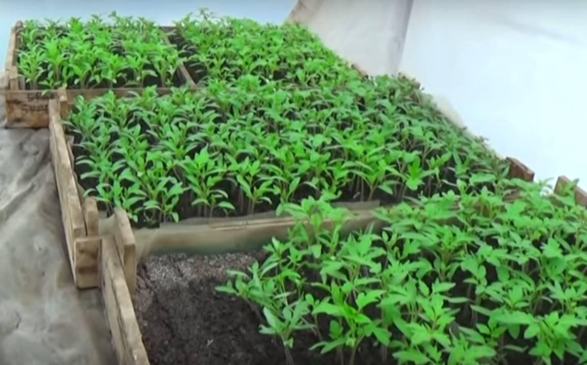 Пикирование рассады томатов
