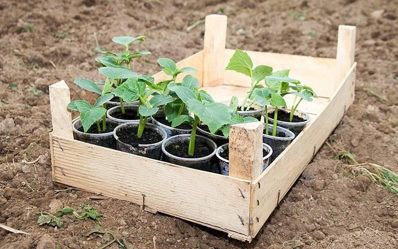 Технология выращивания рассады огурцов для теплицы