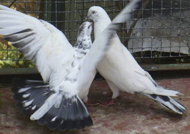 Иранские головатые щекатые голуби купить в красноярске