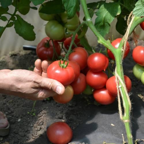 Скороспелый томат сорта катя
