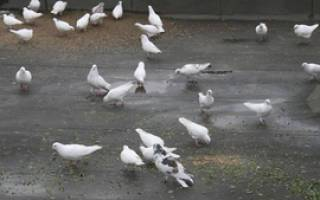 Чем можно и чем нельзя кормить голубей в домашних условиях